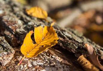 Herbstblatt auf Baumstamm