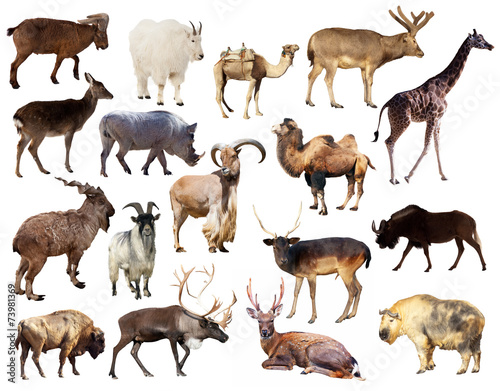 Fotobehang Kameel Set of Artiodactyla mammal animals over white background
