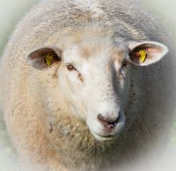 Einzelnes Schaf