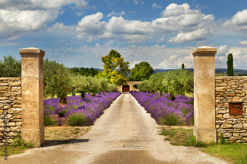 Naklejka Path with lavender in Provence.
