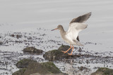 Waterbird flapping his wings poster