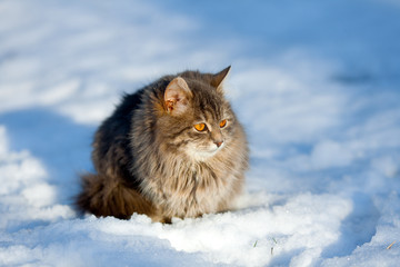 Cute siberian cat relaxing outdoor on the snow