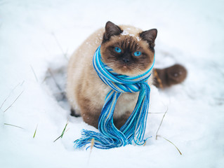 Siamese cat wearing scarf walking on the snow