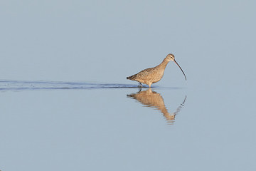 Long Billed Curlew Wading with Wake and Reflection