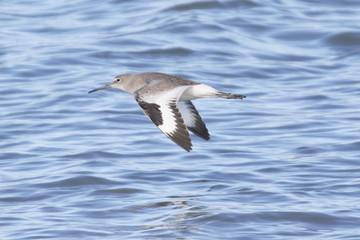 Willet Bird in Flight