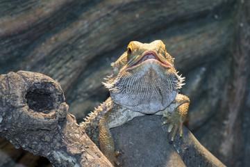 Inland bearded Dragons (Pogona vitticeps)