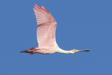 Roseate Spoonbill in Flight against Blue Sky