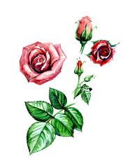 Rose. Botany