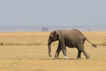 Eleant in Afrika