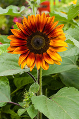 Orange sunflower plant blooming with leaves