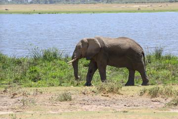Elefant am See