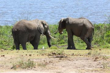 Elefanten am See
