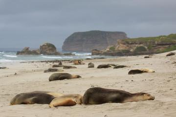Sea lions sleeping on Australian beach