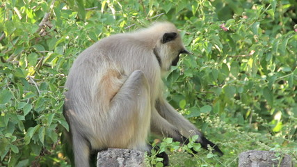 Langur monkey in the Indian city