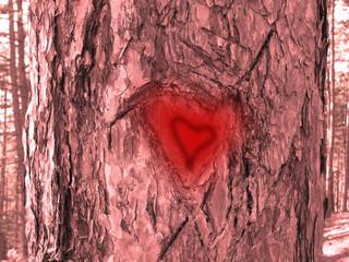 Heart of bark of pine trees.