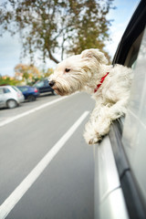dog maltese sitting in a car with open window