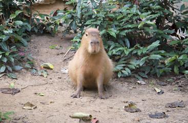 Позирующая капибара в зоопарке Чиангмая. Таиланд