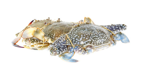Group of fresh blue crabs on white