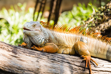 Close-up of Green Iguana on wood