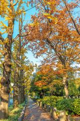 Gingko trees in Yamashita Park, Yokohama, Japan