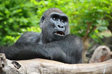 Black Gorilla Resting on a Wooden Pole