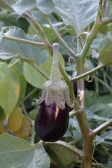 Aubergine, Solanum melongena, Variété Black Enorma
