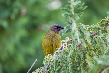 Popular New Zealand bird in nature forest.