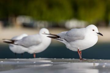 Seagulls ower nature background.