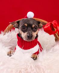 Christmas pincher puppy