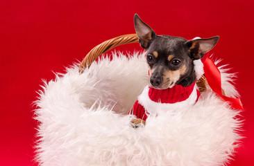 Pincher dog in Christmas basket