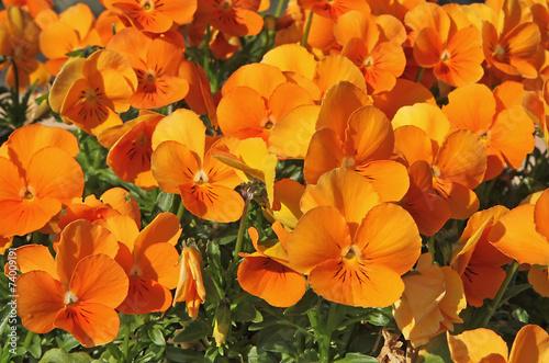 Foto Spatwand Pansies fleurs de pensée orange