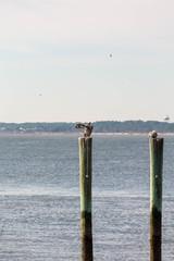 Pelican Preening on Post