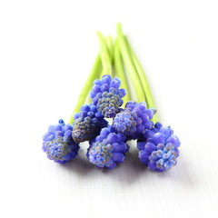Fresh muscari grape hyacinth flowers isolated over white