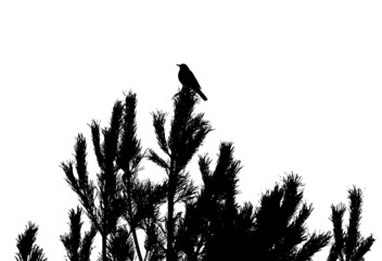 Common blackbird on pine-tree silhouette