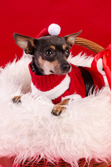 Pincher dog in Christmas composition