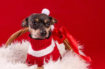 Tamed pincher dog in Christmas basket
