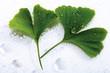 Ginko Blätter mit Wassertropfen