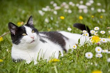 Katze liegt auf Blumenwiese