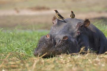 Afrika, Botswana, Gelbschnabel-Madenhacker auf dem Kopf von Flusspferd (Hippopotamus amphibius)