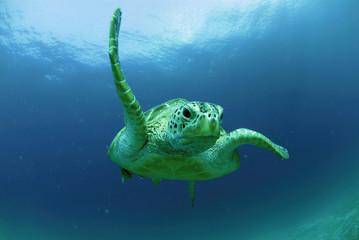 Philippinen, grüne Meeresschildkröte (Chelonia mydas)