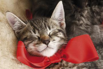 Hauskatze, Schlafendes Kätzchen mit roter Schleife, erhöhte Ansicht, portrait