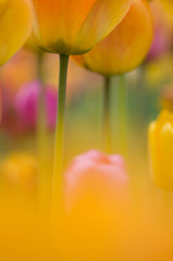 Deutschland, Baden Württemberg, Tulpen, close-up