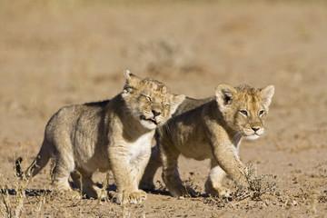 Afrika, Namibia, afrikanisches Löwenjunges (Panthera leo)