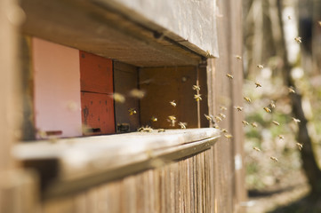Honigbiene Bienenstöcke (Apis mellifera)
