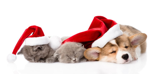 Pembroke Welsh Corgi puppy with red santa hat and two kittens sl