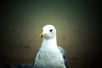 Portrait of a seagull with a dark eye. Sharpness on eyes