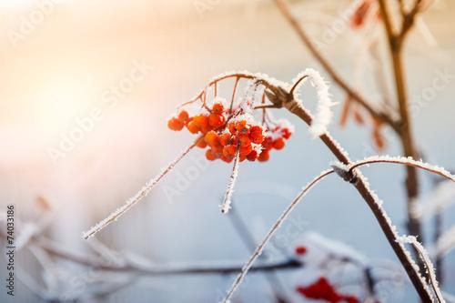 Fotobehang Platteland Rowan berries in the frost