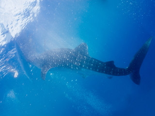 Whale shark (Rhincodon typus) is the largest extant fish species