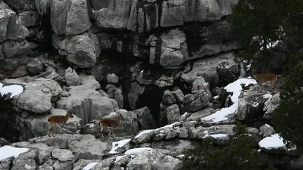 dağ keçileri&yaban hayatı