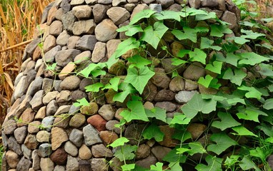 Stone cladding covered with climber plant